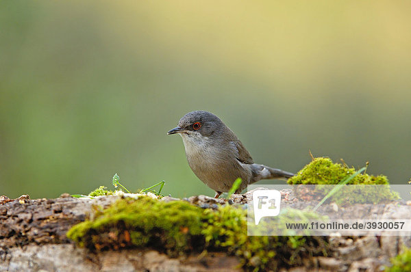 Samtkopf-Grasmücke (Sylvia melanocephala)