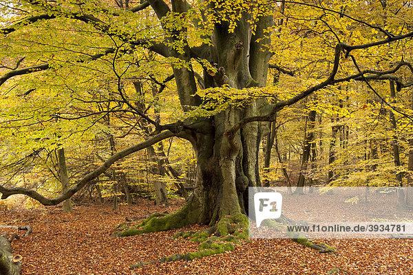 buche im herbst naturschutzgebiet urwald sababurg