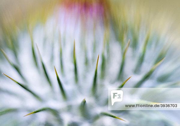 Blüte der Eseldistel (Onopordum)