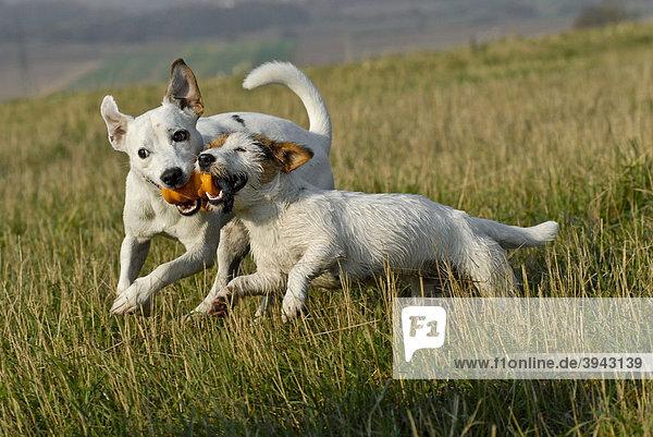 Jack Russell und Parson Russell Terrier spielen zusammen