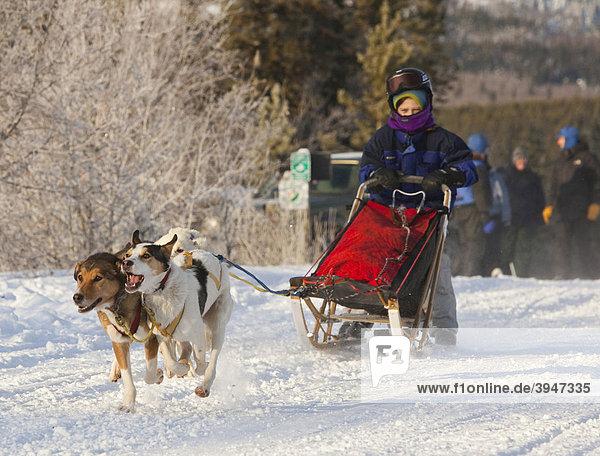 Laufende Schlittenhunde  Hundegespann  Alaskan Huskies  Junge als Musher  Schlittenhund-Rennen bei Whitehorse  Yukon Territory  Kanada