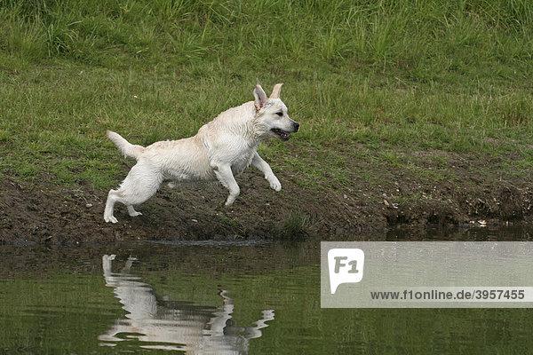 Labrador Retriever springt vom Ufer aus ins Wasser