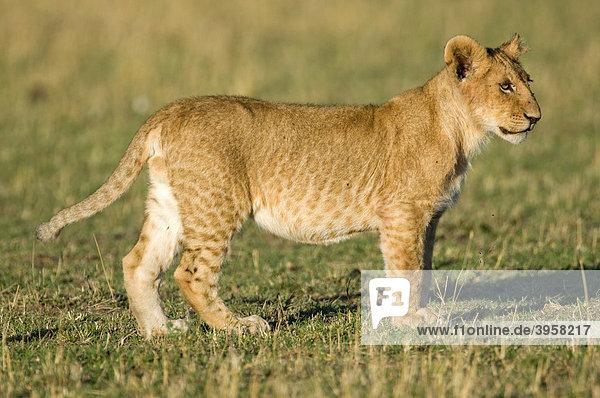 Lion (Panthera leo)  cub  Masai Mara National Reserve  Kenya  East Africa