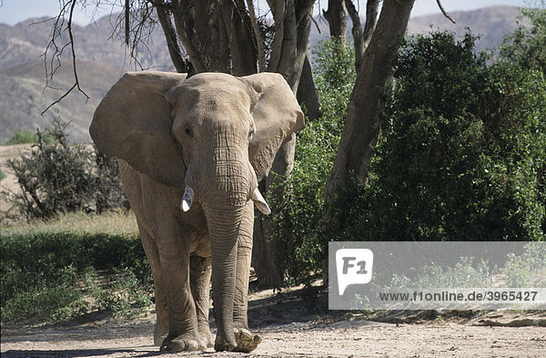Afrikanischer Elefant (Loxodonta africana)  Namibia  Afrika