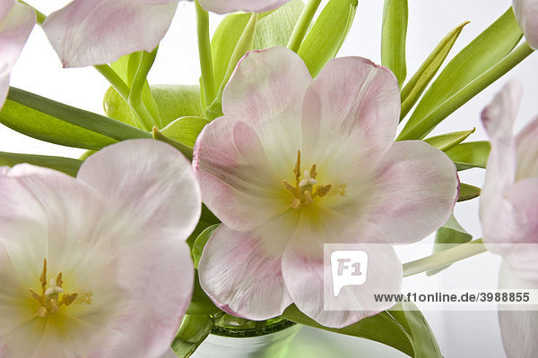 Rosa Tulpen (Tulipa)
