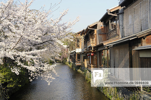 Cherry blossoms in a traditional district  Gion District  Kyoto  Japan  Asia