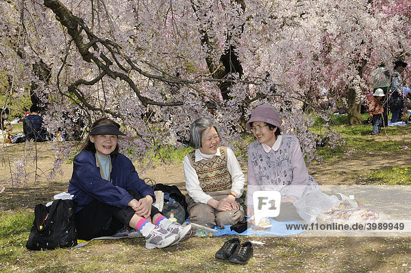 Cherry Blossom Festival at the Kyoto Botanical Garden  picnic under a blossoming tree in Kyoto  Japan  East Asia  Asia