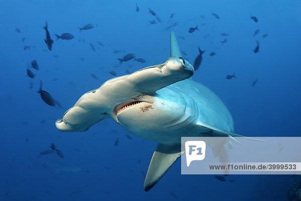 Hammerhai (Sphyrna lewini)  Maul  Zähne  Auge  Kopf  im Blauwasser  Insel Cocos  Costa Rica  Mittelamerika  Pazifik