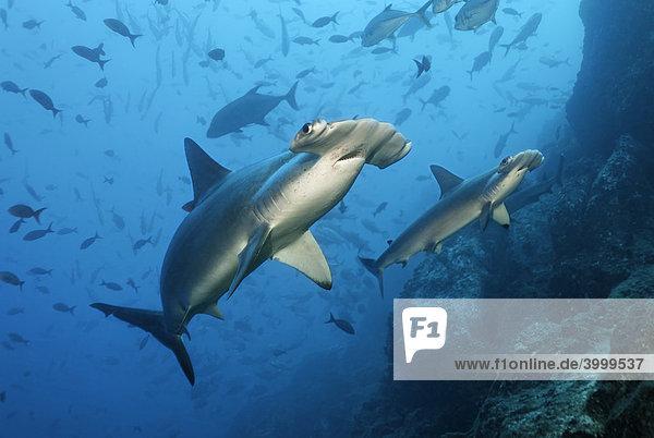 Zwei Hammerhaie (Sphyrna lewini)  schwimmen über Riff  Fische  Insel Cocos  Costa Rica  Mittelamerika  Pazifik