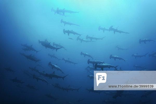 Schwarm Hammerhaie (Spyrna lewini) im Blau  Insel Cocos  Costa Rica  Mittelamerica  Pazifik Fischschwarm