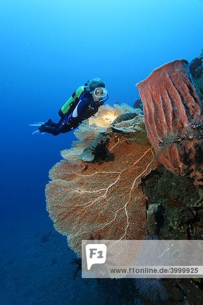 Taucherin betrachtet Riffformation aus Gorgonienfächer (Anella mollis) und Vasenschwamm  Korallen  Schwamm  Kuda  Bali  Indonesien  Pazifik