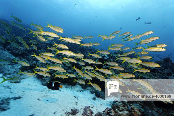 Schwarm Mexikanischer Meerbarben (Mulloidichthys dentatus) schwimmt über das Riff  Darwin Island  Galapagos Archipel  Unesco Weltnaturerbe  Ecuador  Südamerika  Pazifik