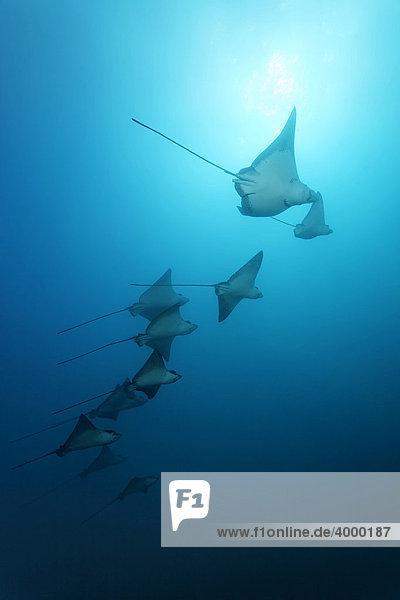 Schule Adlerrrochen (Aetobatus narinari) im offenen Meer  Cousin Rock  Galapagos Archipel  Unesco Weltnaturerbe  Ecuador  Südamerika  Pazifik Fischschwarm