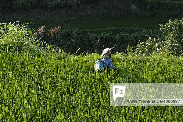 Chinesische Frau der Miao-Minderheit bei der Arbeit in den Reisterrassen von Xijiang  Guizhou  Südchina  China