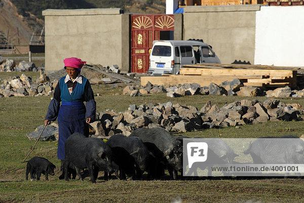 Tibetische Frau treibt schwarze Schweine auf die Weide bei Shangri la  Osttibet  Yünnan  China  Asien