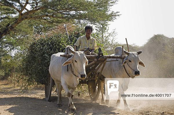 Bullock cart with white oxen  Old Bagan  Pagan  Burma  Myanmar  Asia