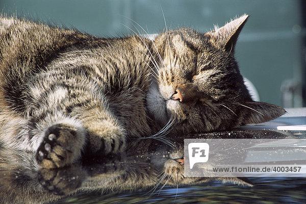 Hauskatze schläft auf Autodach  Spiegelung