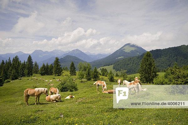 Tyrolean Haflinger  Buchauer alp  Erl  Tyrol  Austria  Europe