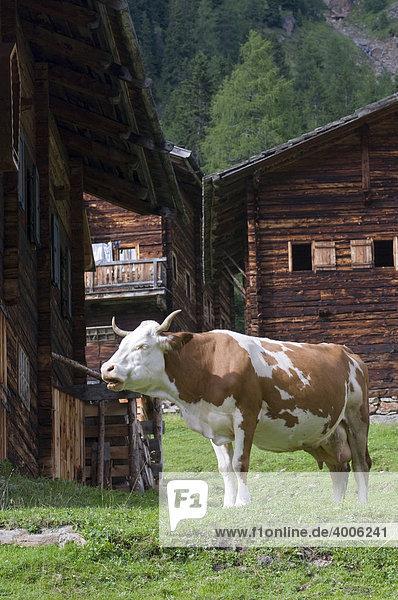 Kuh auf der Alm  Oberstaller-Alm  Innervillgraten  Osttirol  Österreich  Europa