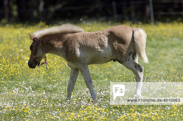 Haflinger Horse (Equus caballus)  foal on a field in Eng  Tyrol  Austria  Europe