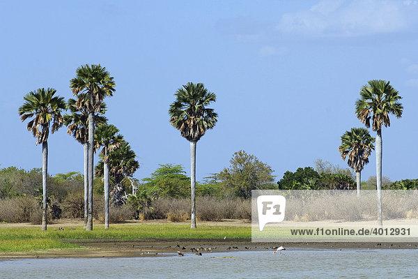 Delebpalmen (Borassus aethiopum) prägen das typische Habitat entlang des Rufiji Flusses im Selous Game Reserve  Tansania  Afrika
