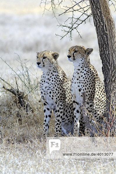 Zwei junge Geparde (Acinonyx jubatus) halten Ausschau nach Beutetieren  Ndutu  Ngorongoro  Tansania  Afrika
