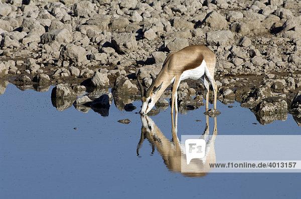 Springbock (Antidorcas marsupialis) am Okaukuejo Wasserloch  Etosha Nationalpark  Namibia  Afrika