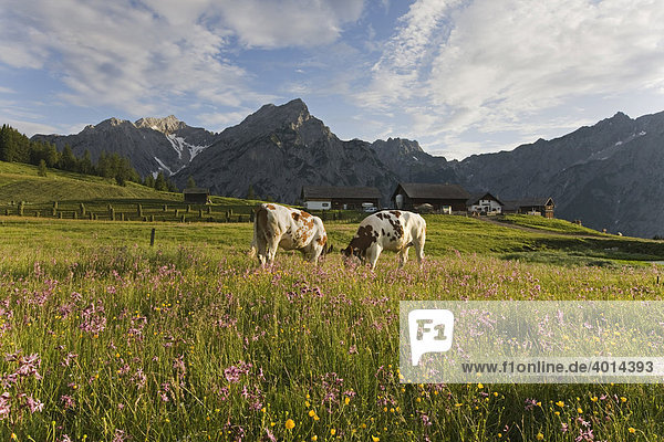 Cows on the Walder Alm mountain pasture  North Tyrol  Austria  Europe