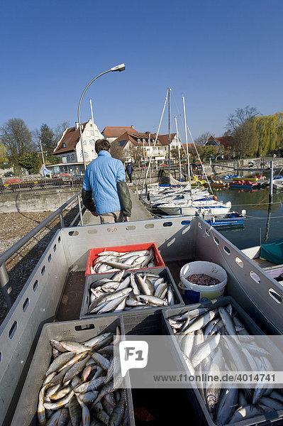Fischer transportiert Felchen  Fische  Fischerei  Hafen  Bodensee  Wasserburg  Bayern  Deutschland