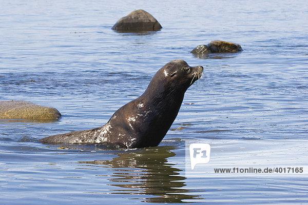 Kalifornischer Seelöwe (Zalophus californianus) am Cape Alava  Olympic Nationalpark  Westküste  Pazifik  Washington  USA
