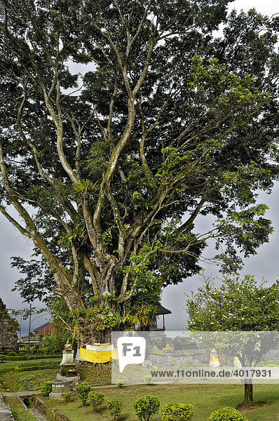 Bengal or Indian Fig (Ficus benghalensis)  on Bratan Lake in front of the Pura Ulun Danu Temple  Bali  Indonesia  South East Asia