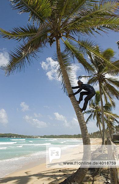 Eingeborener klettert auf eine Palme in Playa del Macao  Dominikanische Republik  Mittelamerika