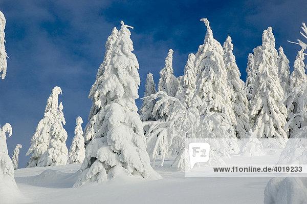 Winterlandschaft am Almkogel  Nationalpark Kalkalpen  Oberösterreich  Österreich  Europa