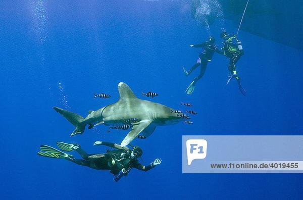 Drei Taucher mit Weißspitzen-Hochseehai (Carcharhinus longimanus)  Rotes Meer  Ägypten  Afrika