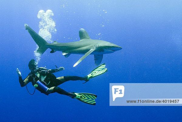 Taucher mit Weißspitzen-Hochseehai (Carcharhinus longimanus)  Rotes Meer  Ägypten  Afrika