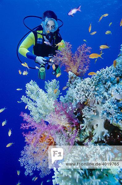 Taucher mit Weichkorallen  Rotes Meer  Ägypten  Afrika
