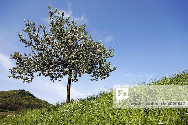 Blühender Obstbaum  Südpfalz  Pfalz  Rheinland-Pfalz  Deutschland  Europa