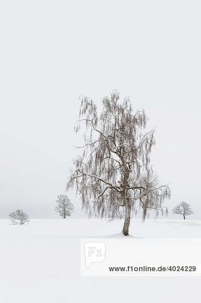 European White Birch (Betula pubescens)  winter landscape  Swabian Alb  Baden-Wuerttemberg  Germany  Europe