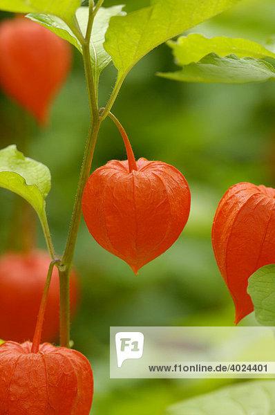 Lampionblumen (Physalis alkekengi) Lampionblumen (Physalis alkekengi)