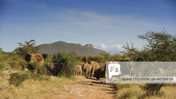 Afrikanischer Elefant (Loxodonta africana)  Elefantenherde im Samburu National Reserve  Kenia  Ostafrika  Afrika