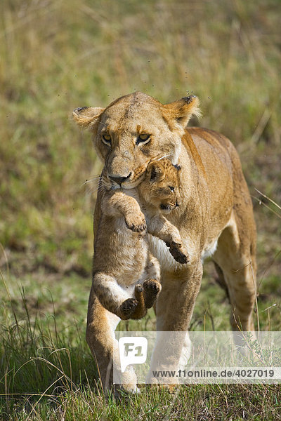 Lion (Panthera leo)  lioness carrying cub in mouth  Masia Mara  national park  Kenya  East Africa