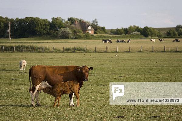 Kuh mit Kalb auf Weide  Nordfriesland  Schleswig-Holstein  Deutschland  Europa