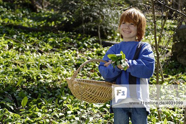 Kind  Junge  mit Korb beim Bärlauch Pflücken im Wald
