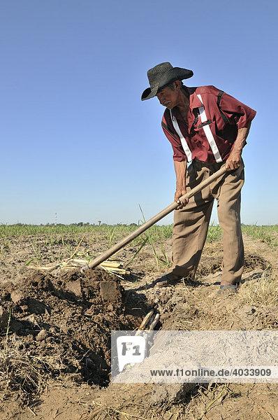 Alter Mann baut Zuckerrohr für die Produktion von Biodiesel an  Montero  Santa Cruz  Bolivien  Südamerika