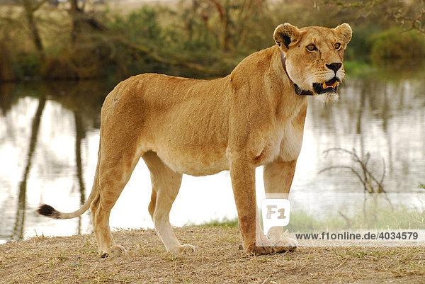 Lioness (Panthera leo) with transmitter collar  Serengeti National Park  Tanzania  Africa