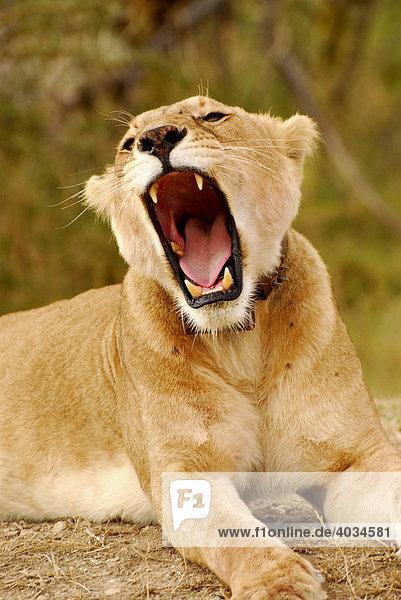 Lioness (Panthera leo)  yawning  Serengeti National Park  Tanzania  Africa