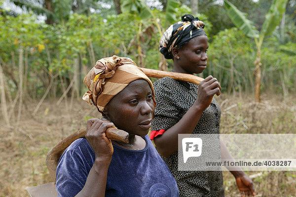 Frauen bei der Feldarbeit  Maniok-Anbau  Bamenda  Kamerun  Afrika