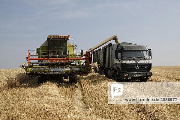 Weizenernte  Getreideernte  Mähdrescher entleert Getreide in LKW Hänger