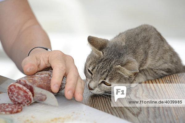 Junge graugetigerte Katze schaut gierig zu wie Salami geschnitten wird