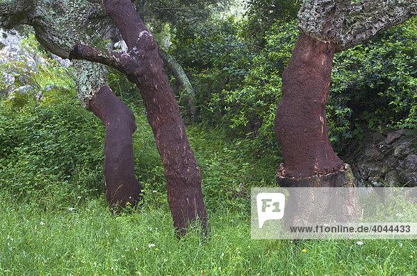 Geschälte Korkeichen (Quercus suber)  Sardinien  Italien  Europa